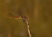 Männchen - Provence, Juli 2012