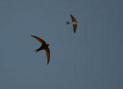 Photomontage: Zum Vergleich eine Mehlschwalbe (rechts) - Provence, Juli 2011