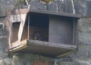 Uhu in einem Wanderfalkenbrutkasten - Albtrauf, Juni 2018