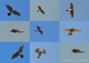 Collage: Sperberweibchen Flugbilder