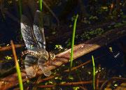 Weibchen - Schwäbische Alb, September 2012