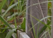 Weibchen - Federsee, August 2012