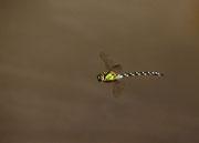 Männchen - Albtrauf, September 2011 (mein erstes Libellenphoto überhaupt !!!)