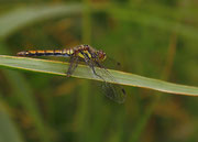 Weibchen - Murnau, August 2012