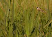 Weibchen - `Müritz Nationalpark`, Juli 2012