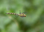 Weibchen - ´Müritz Nationalpark´, Juli 2013