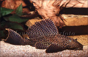 Glyptoperichthys gibbiceps (Wabenschilderwels)_3398 x 2226 px