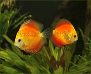 Symphysodon aequifasciatus (Diskus Zuchtform, Paar)_4064 x 3320 px