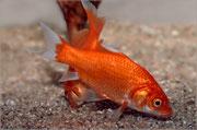 Carassius auratus auratus (Goldfisch) 3158 x 2098 px