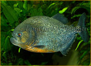 Pygocentrus nattereri (Piranha)_3210 x 2336 px