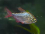 Hyphessobrycon columbianus (Blauroter Kolumbiensalmler)_3093 x 2336 px