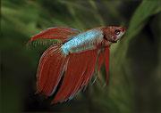 Betta splendens (Kampffisch 3)_3372 x 2375 px