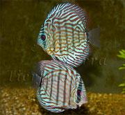 Symphysodon aequifasciatus (3_Diskus Zuchtform)_2528 x 2336 px