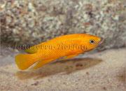 Neolamprologus leleupi_4695 x 3385 px
