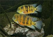 Cichlasoma pearsei_2388 x 1696 px