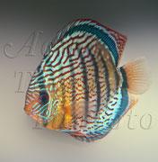 Symphysodon aequifasciatus (Diskus)_2895 x 2961 px