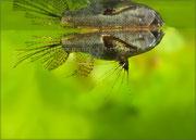 Pantodon buchholzi (Schmetterlingsfisch)_2378 x 1702 px