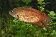 Belontia_signata (Ceylon Makropode)_2544 x 1696 px
