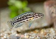 Julidochromis sp._3315 x 2331 px