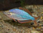 Melanotaenia praecox (Diamant-Regenbogenfisch)_1729 x 1336 px