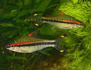 Puntius denisonii_2934 x 2229 px