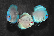 Symphysodon aequifasciatus (4_Diskus_Zuchtform)_3255 x 2149 px
