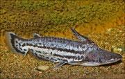 Ageneiosus magoi_ 2544 x 1616