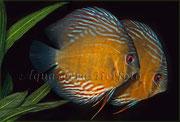 Symphysodon aequifasciatus (Brauner Diskus (6)_3207 x 2170 px