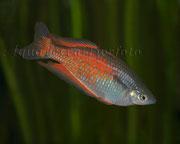Glossolepis incisus (Lachsroter Regenbogenfisch)_2905 x 2325 px