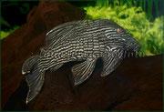 Panaque nigrolineatus_3420 x 2336 px