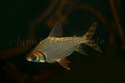 Semaprochilodus sp._3504 x 2336 px