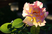 Einfachkarte, Rose Nr.1