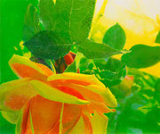 Yellow Rose 380×455mm パネルに綿布 水可溶性油絵具