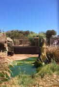 Wenn Futter naht, kann sich das Krokodil bis fast 2 Meter aus dem Wasser strecken