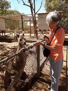 Die verschiedenen Kängurus sind sehr zutraulich, da die Menschen feine «Leckerli» füttern