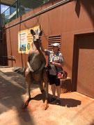 Das «Rote Riesen-Känguru» wird bis fast 2 Meter hoch und über 90 kg schwer