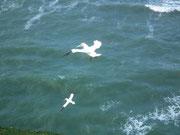 Lummen und andere Vögel nutzen den Wind zur Flugunterstützung