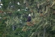 . . . ist noch kein kein Sea animal, aber trotzdem sehr fotogen: Der amerikanische Weisskopfadler