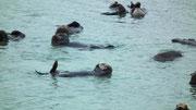 Die putzigen Seeotter tummeln sich vergnügt