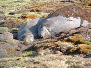 Erwas träger die Seeelefanten mit dem wechselnden Pelz
