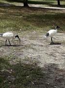 Freilaufende Ibisse, die nach spärlichem Futter suchen