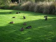 Auch diese hübschen Enten waren noch in der Morgen-Ruh . . .