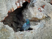 Nett begrüsst mit lautem Gurren von dieser «Felsgrotten»-Taube