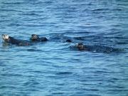 Wir treffen auf eine grosse Kolonie von munteren Seeottern . . .