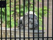 Raubtier hinter Gitter