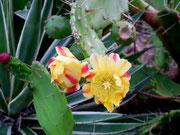 . . . und die Kaktusse blühen noch wunderschön