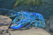 Eine Krabben- oder Hummerart in einer ungewöhnlichen Farbe