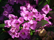 Die Azaleen sind ebenfalls noch in schönster Blüte