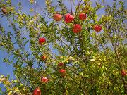 Früchte, die augenscheinlich vorallem den Vögeln als Futter dienen