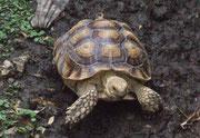 Hübsch gezeichnete Schildkröte